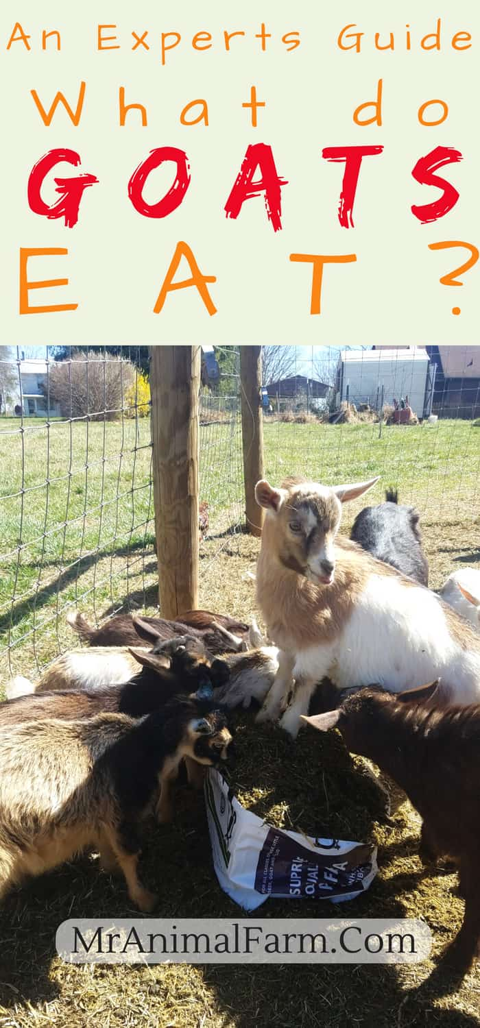 "pinterest image of baby goats eating bag of chaffhaye. Tex reads, ""An experts guide: What do goats eat?"""