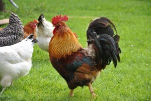 Do roosters lay eggs