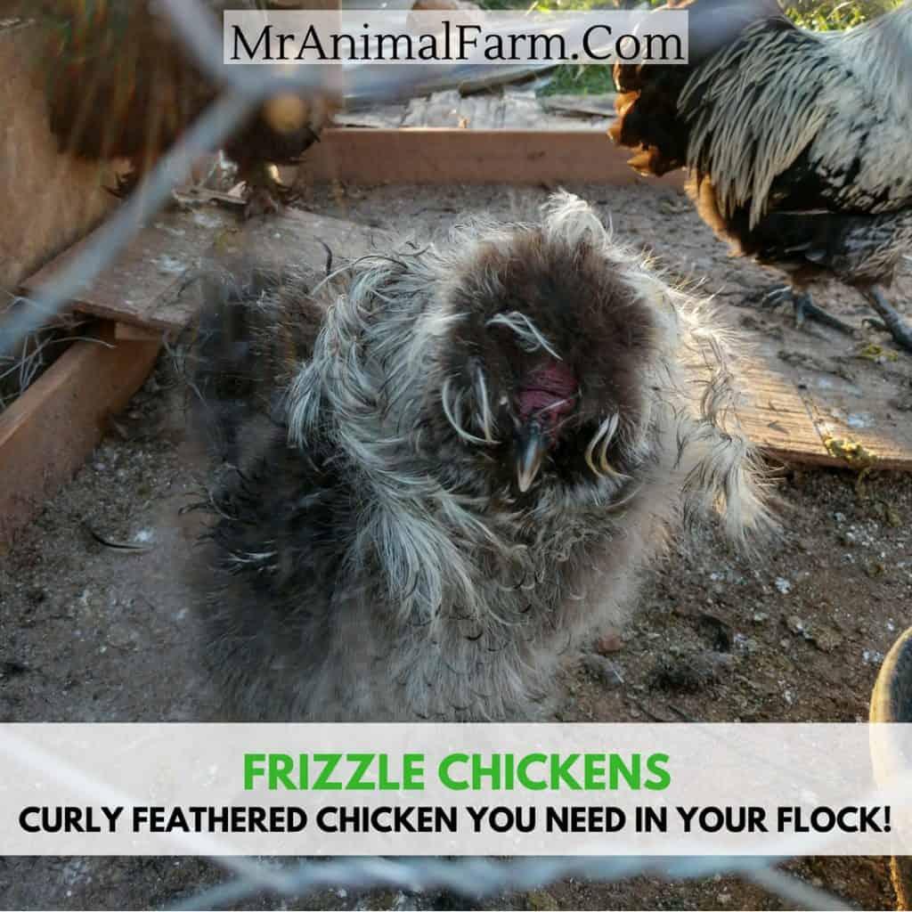 Frizzle Chicken