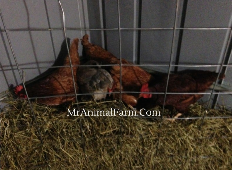 chickens in hay feeder