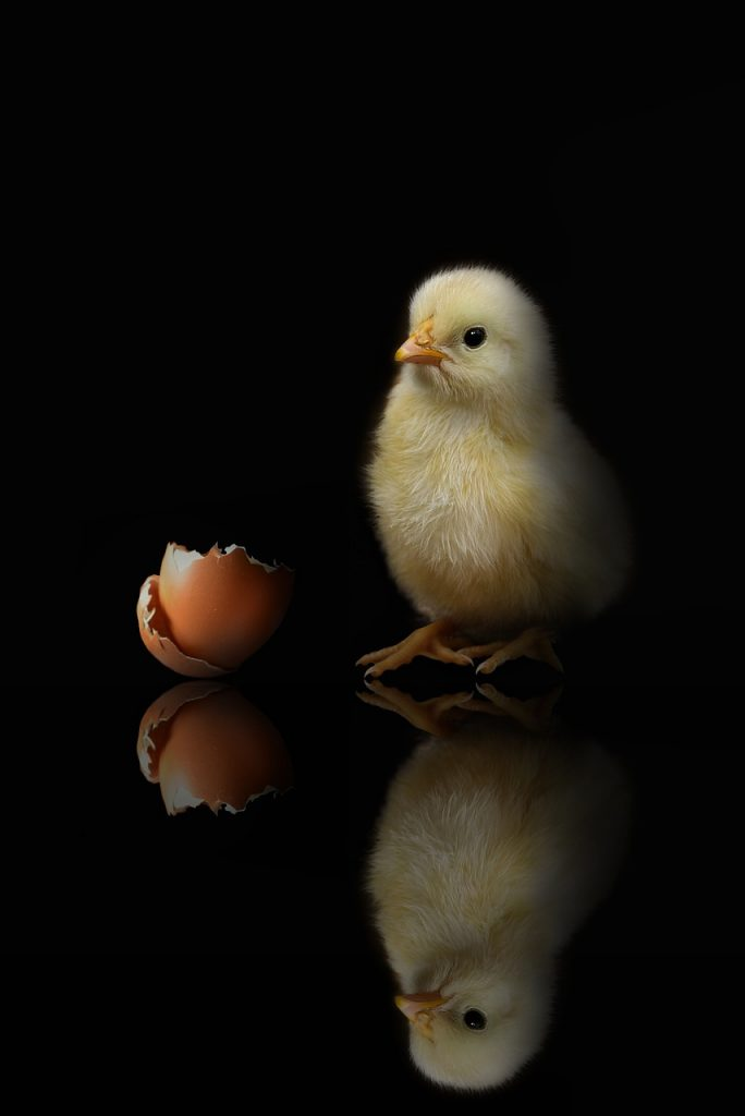 baby chick next to egg shell