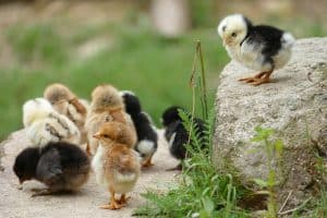 a group of baby chicks