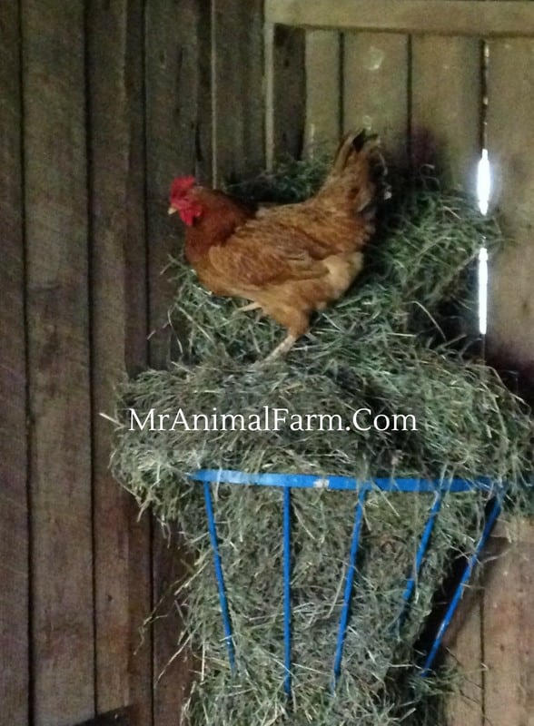 chicken on top of hay feeder