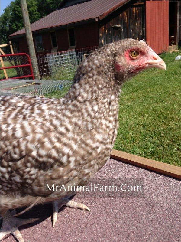 chocolate cuckoo orpington hen