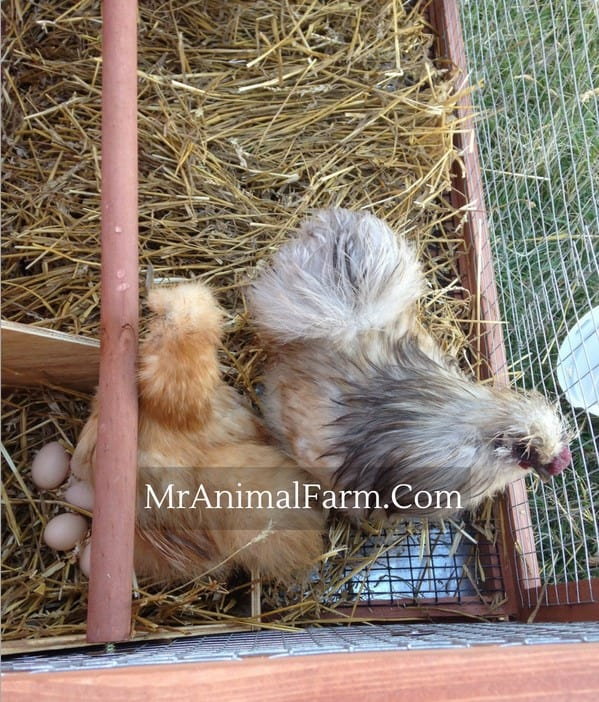 silkie rooster and hen next to nest of eggs