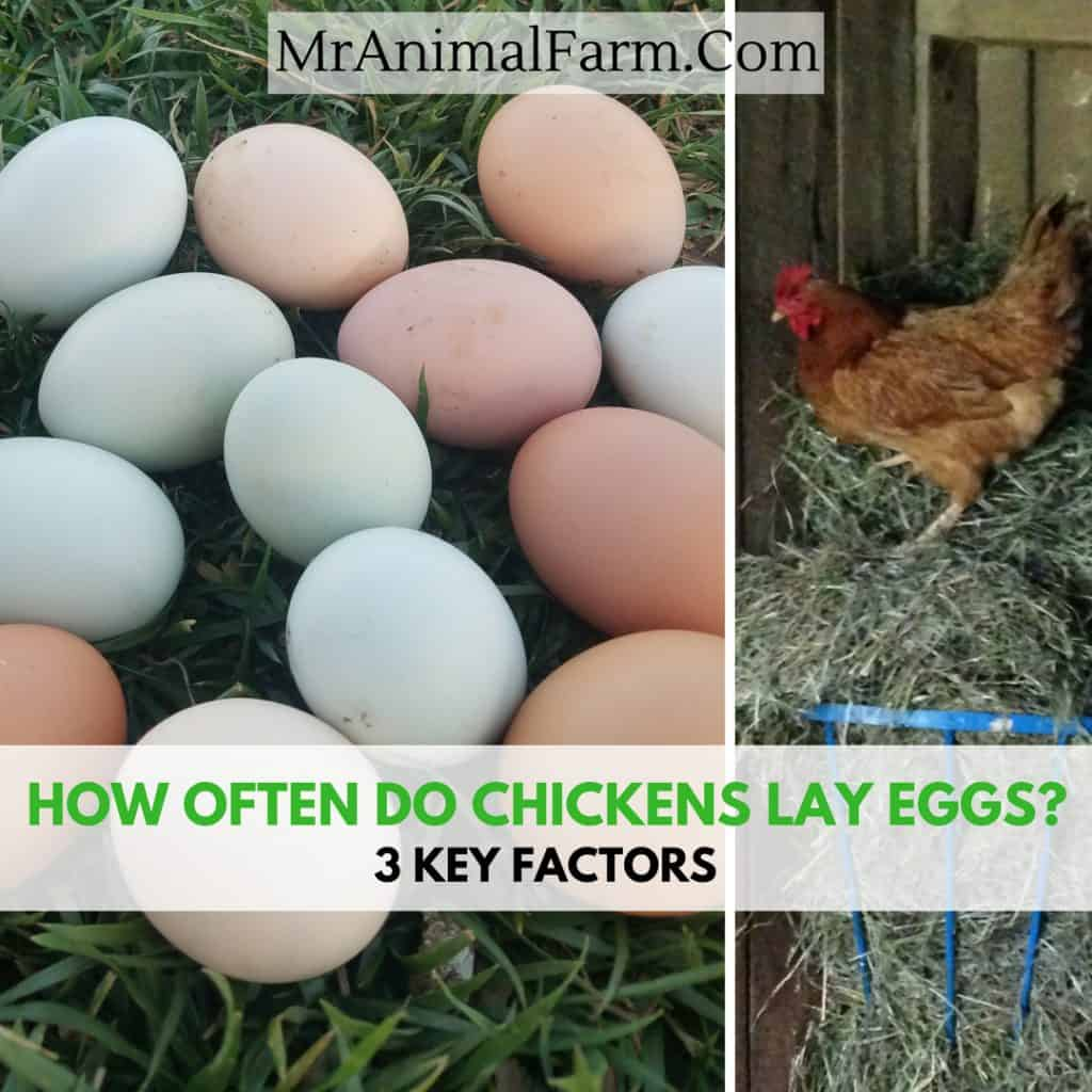 "split image. left: pile of multi colored eggs. right: chicken on top of hay feeder. Text reads, ""How often fo chickens lay eggs? 3 key factors"""