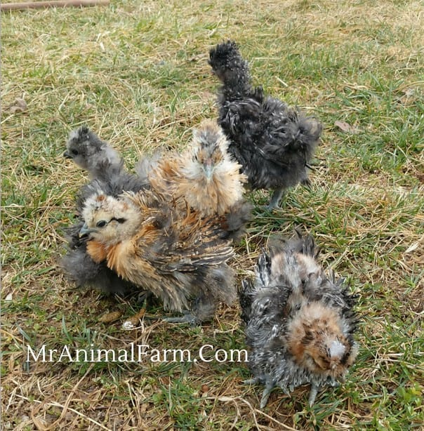 group of Frizzle Chicks