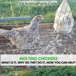 Molting Chickens