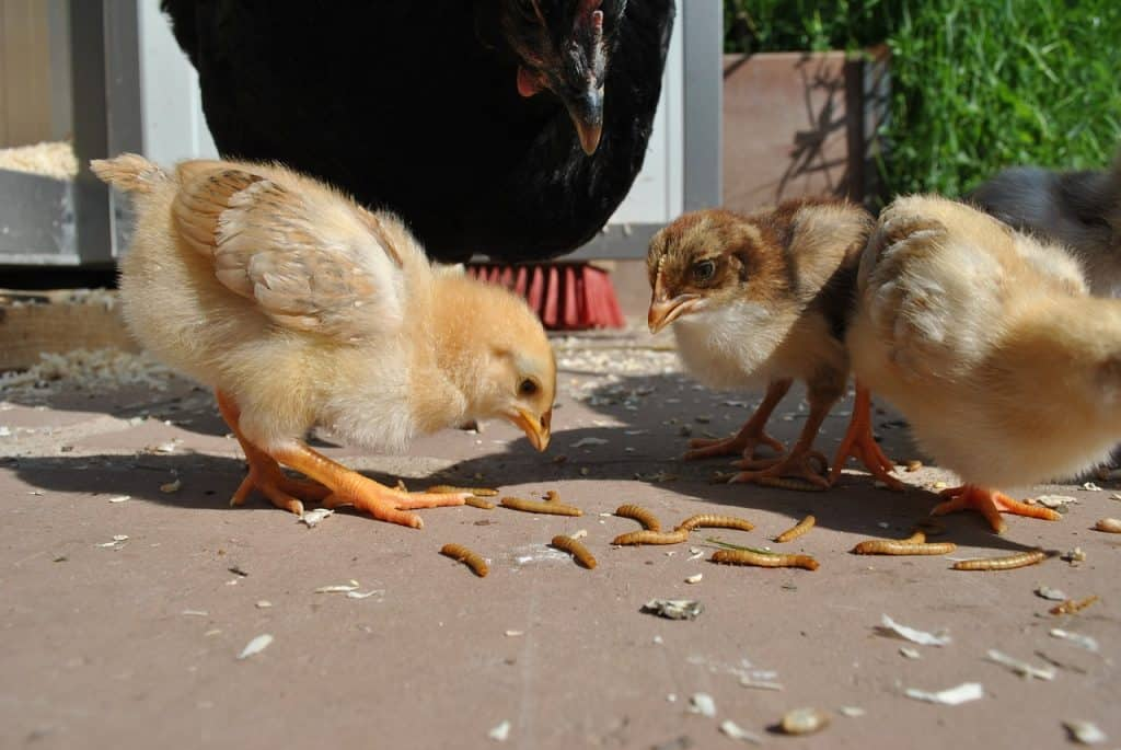 Chickens eating mealworms.