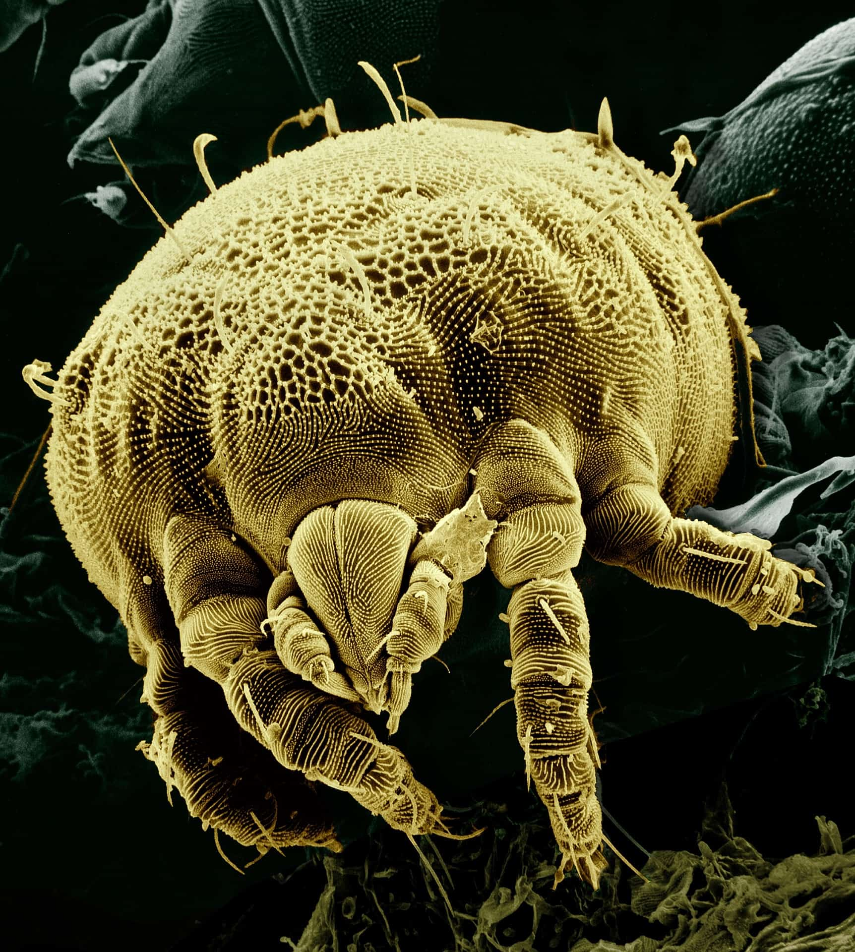 close up of mite