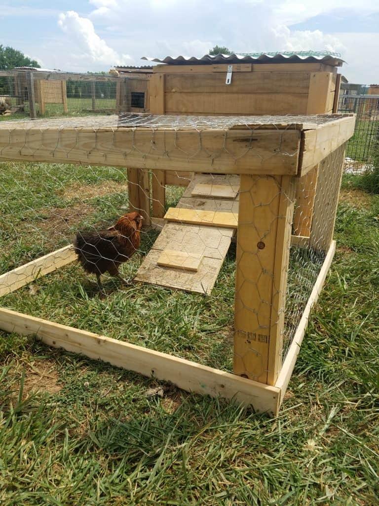 chicken outside of coop in it's run