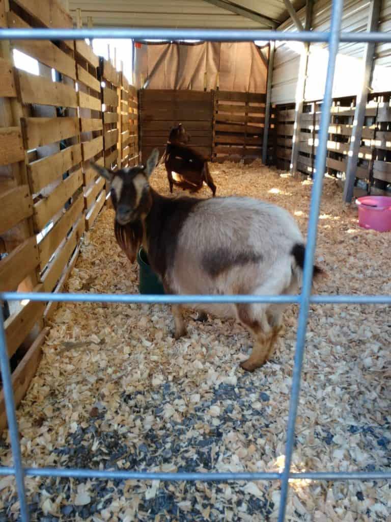 goat in car port pallet pen