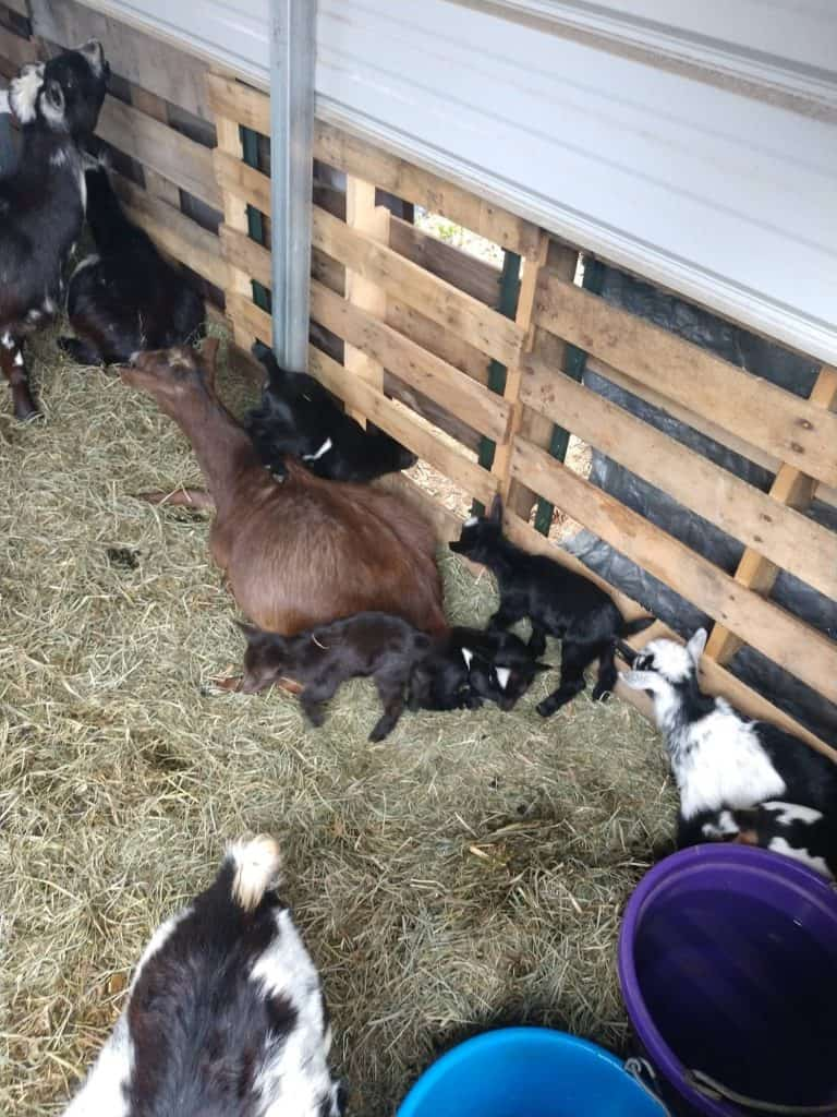 goat with goat kids in car port pallet pen