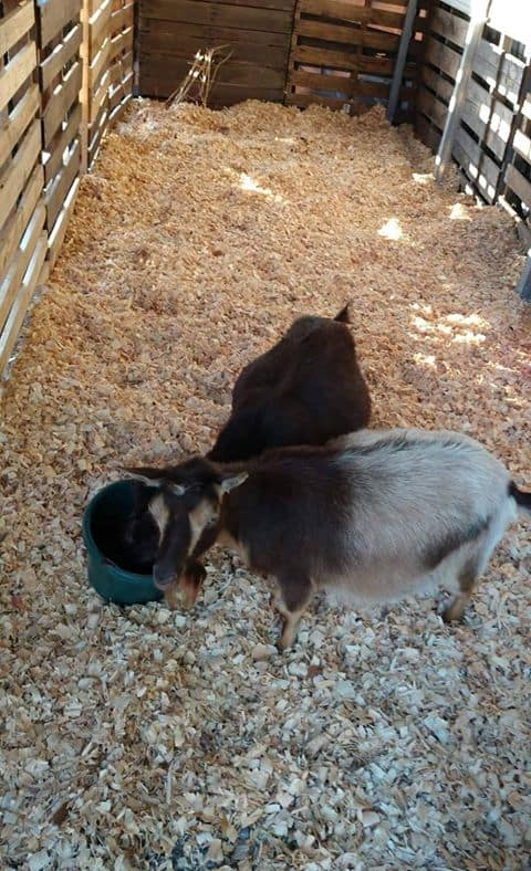 2 adult goats in car port pallet pen