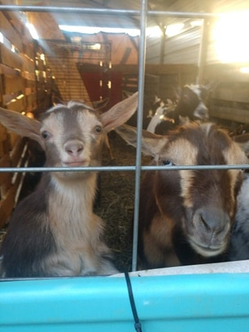 close up of goat and baby goat faces