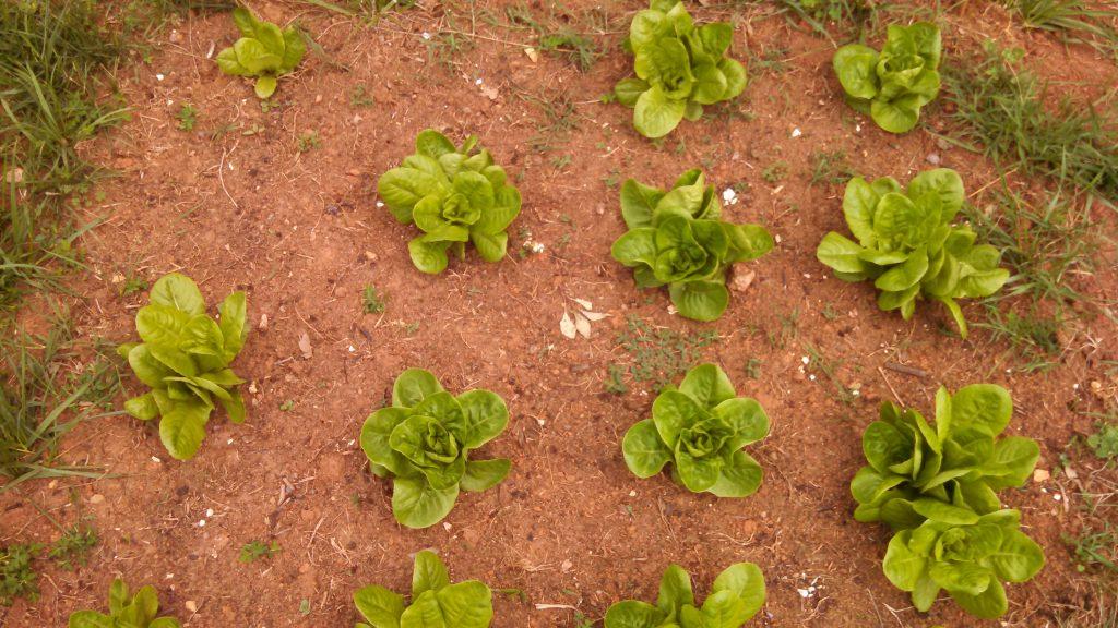 growing lettuce plants