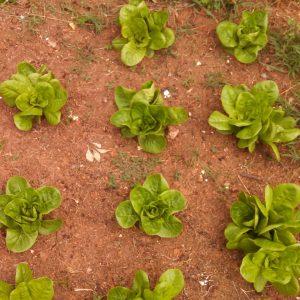 several lettuce plants