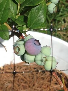 featured image for how to plant blueberries. closeup of blueberry bunch still on the bush.