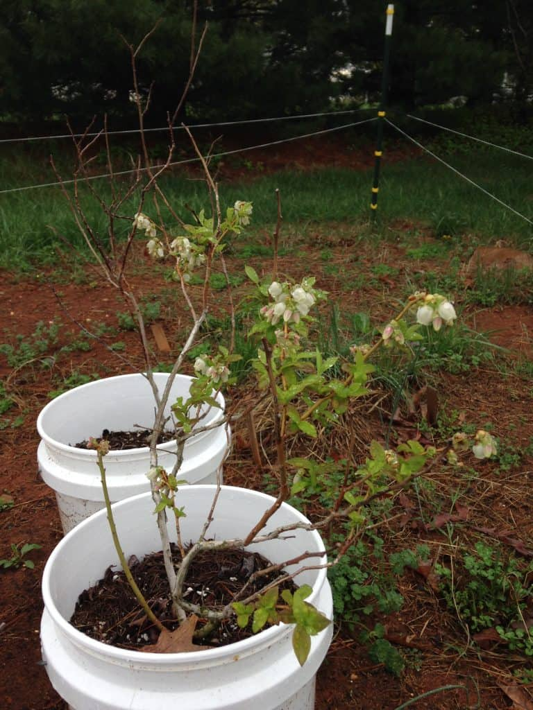blueberries growing in buckets