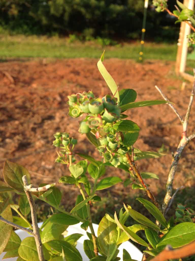 close up of blueberries starting to bud on bush