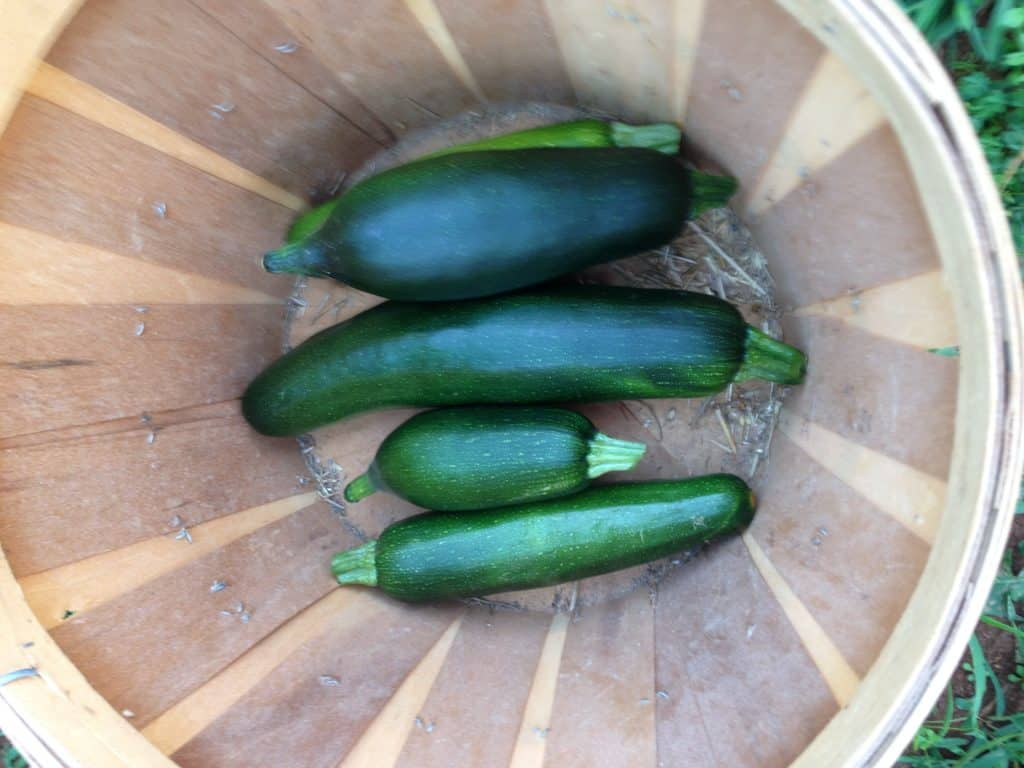 zucchini feature image for fastest growing vegetables
