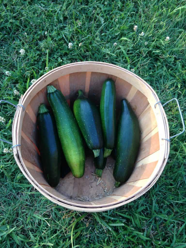 full harvesting basket after growing zucchini