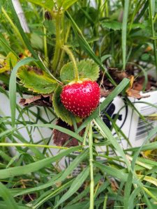 growing strawberries featured image. close up of strawberry on plant