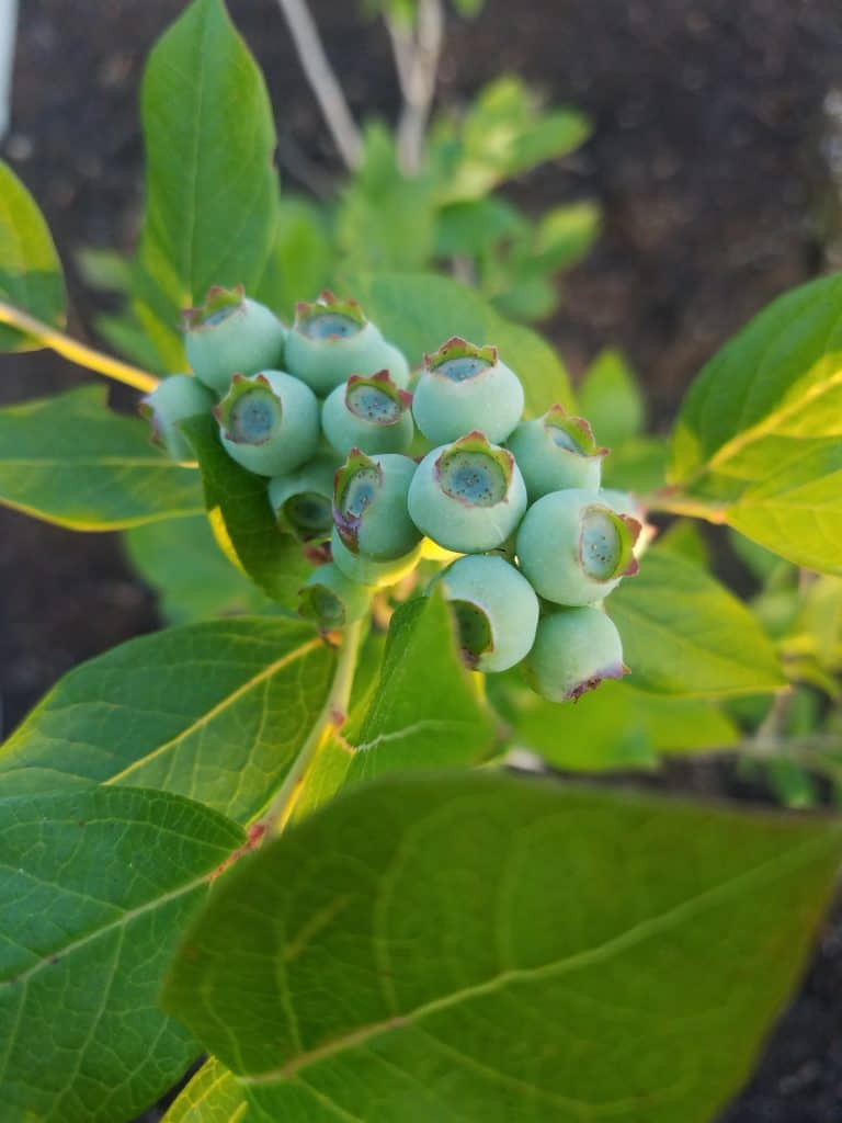 close up of blueberry bunch on bush