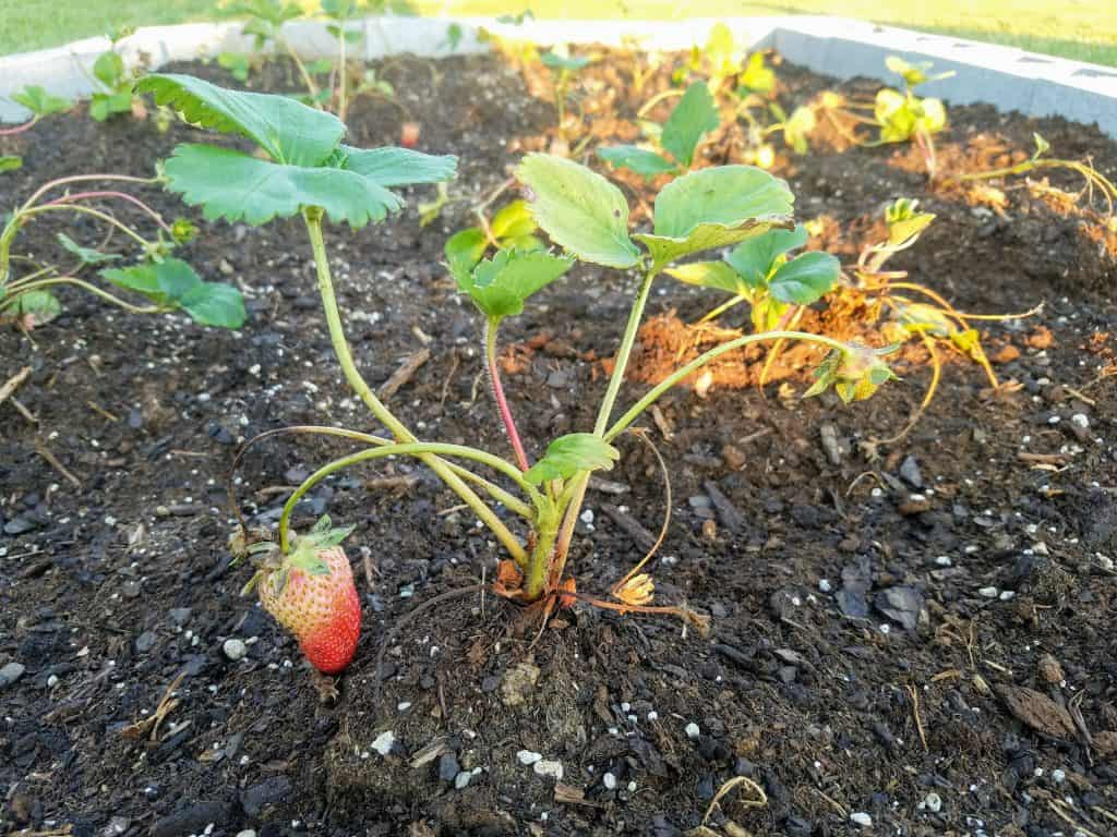 strawberry almost ripe enough to harvest