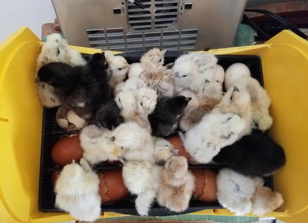 incubator full of newly hatched baby chicks