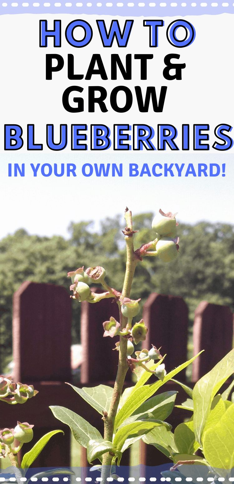 """pinterest image of bluberrie bush. Text reads, """"how to plant blueberries in your own backyard!"""""""