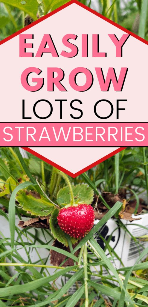 "pinterest image with closeup of strawberry on plant. Text reads, ""Easily grow lots of strawberries"""
