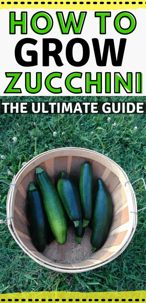 "pinterest image with harvest basket of zucchini. Text reads, ""How to grow zucchini. The ultimate guide."""