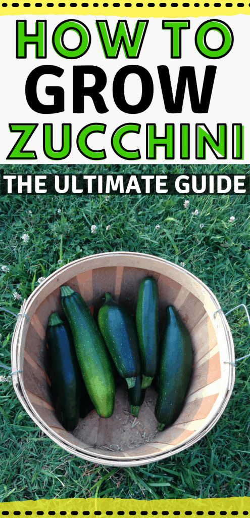 """pinterest image with harvest basket of zucchini. Text reads, """"How to grow zucchini. The ultimate guide."""""""