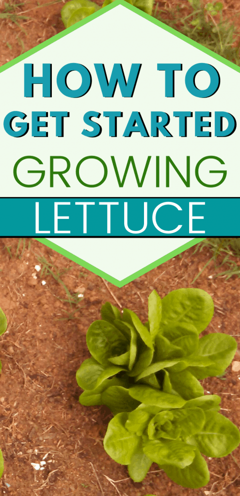 """pinterest image of lettuce plant. text reads, """"how to get started growing lettuce"""""""