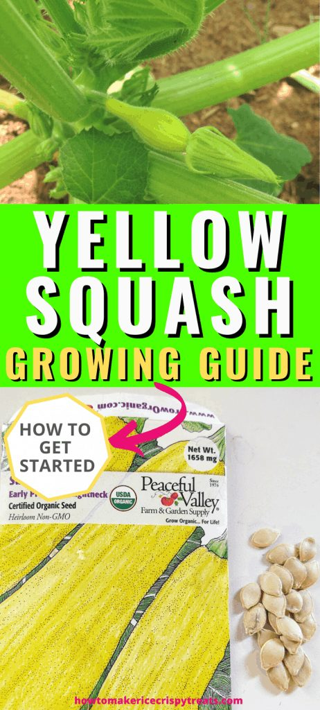 """pinterest image. top image: the start of a yellow squash on plant. bottom image: yellow squash seed packet with pile of seeds next to it. Middle text box: """"Yellow Squash Growing Guide. How to get started"""""""
