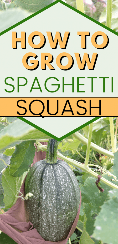 """pinterest image for growing spaghetti squash on vine. Text reads, """"how to grow spaghetti squash"""""""