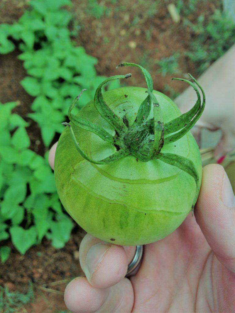 closeup of green tomato