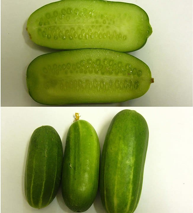 burpless/mostly seedless cucumber