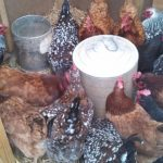 chickens gathered around waterer