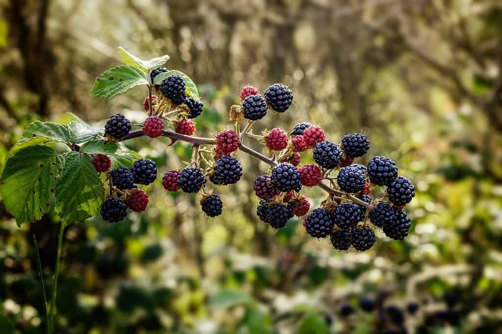 combination of red and black blackberries