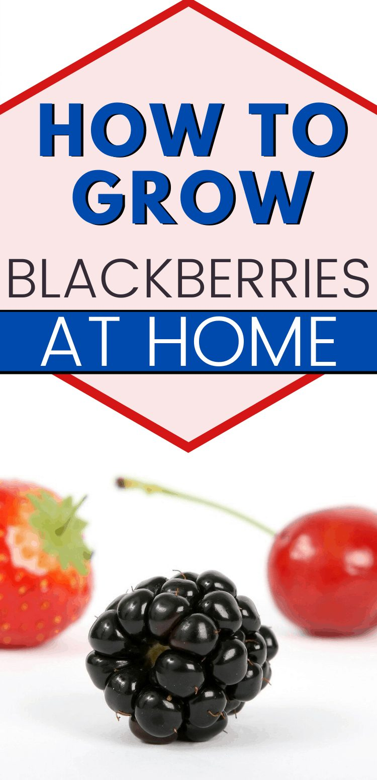 "pinterest image of blackberry, cherry, and strawberry. text reads, ""how to grow blackberries at home"""