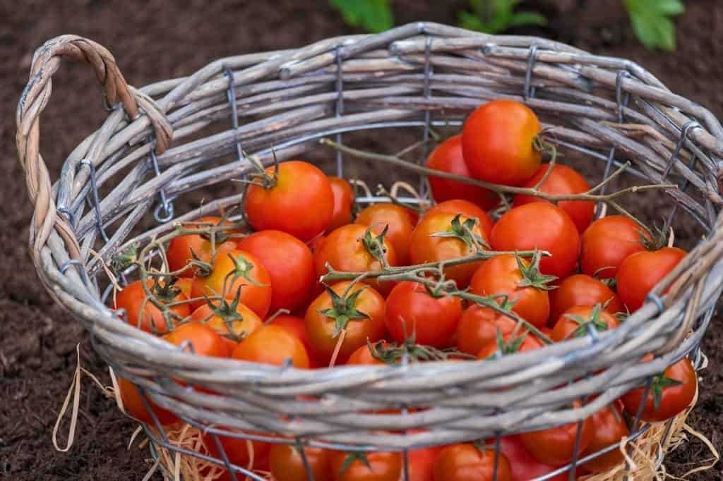 harvest basket of tomatoes