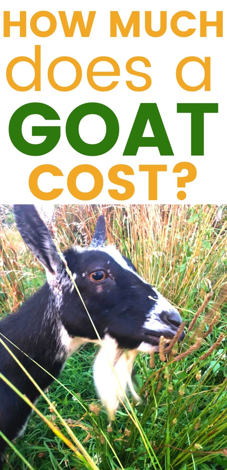 """pinterest image of goat grazing. text reads, """"how much does a goat cost?"""""""