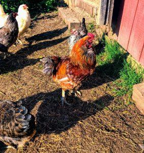 red easter egger rooster