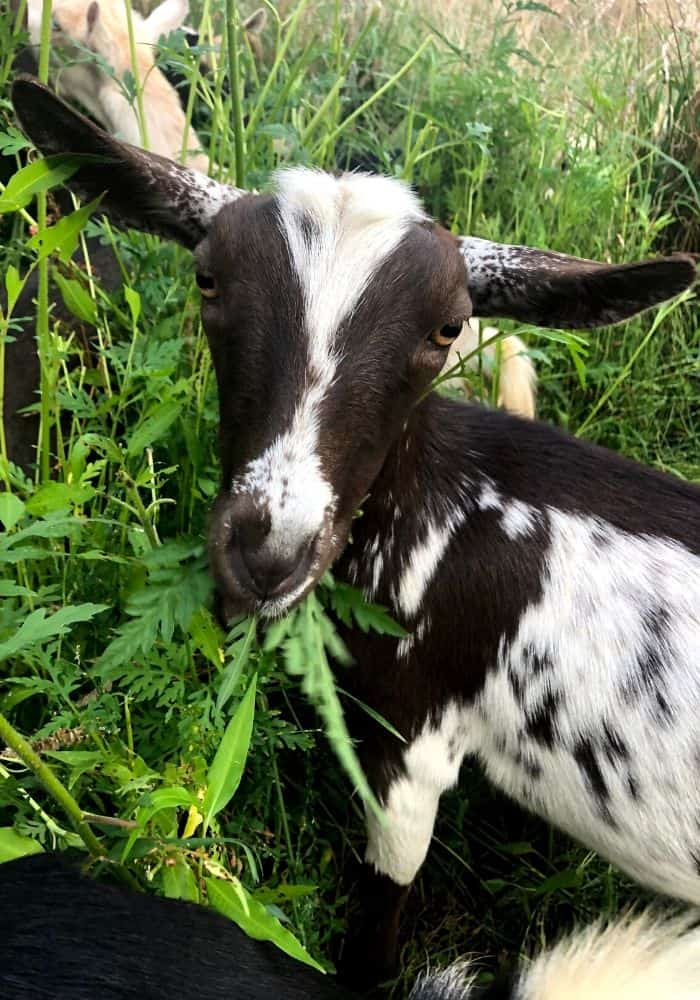 closeup of goat grazing