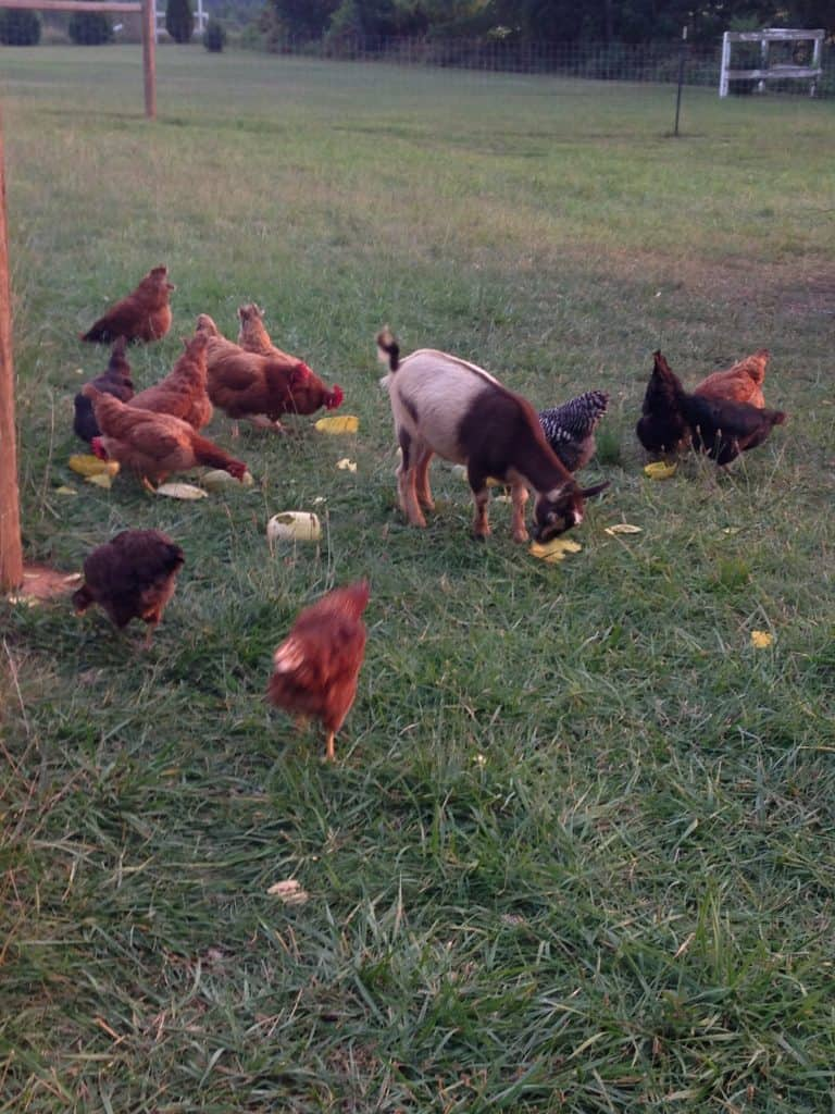 Chloe, the goat, and several chickens enjoy yellow squash