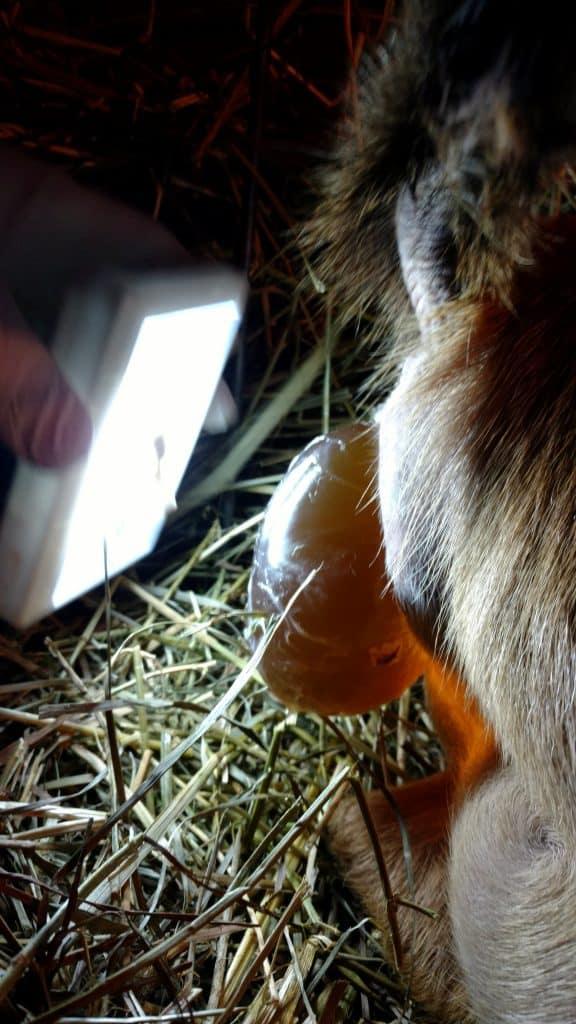 goat birthing sack (bubble)