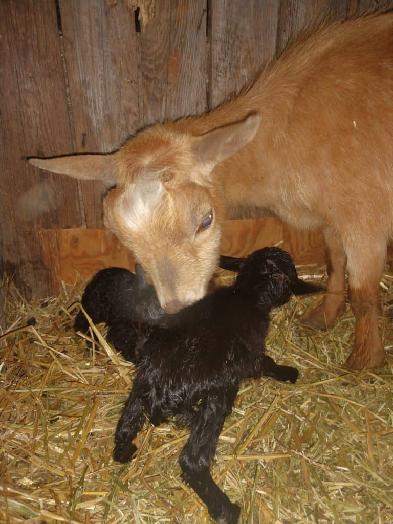 goat cleaning newborn kid