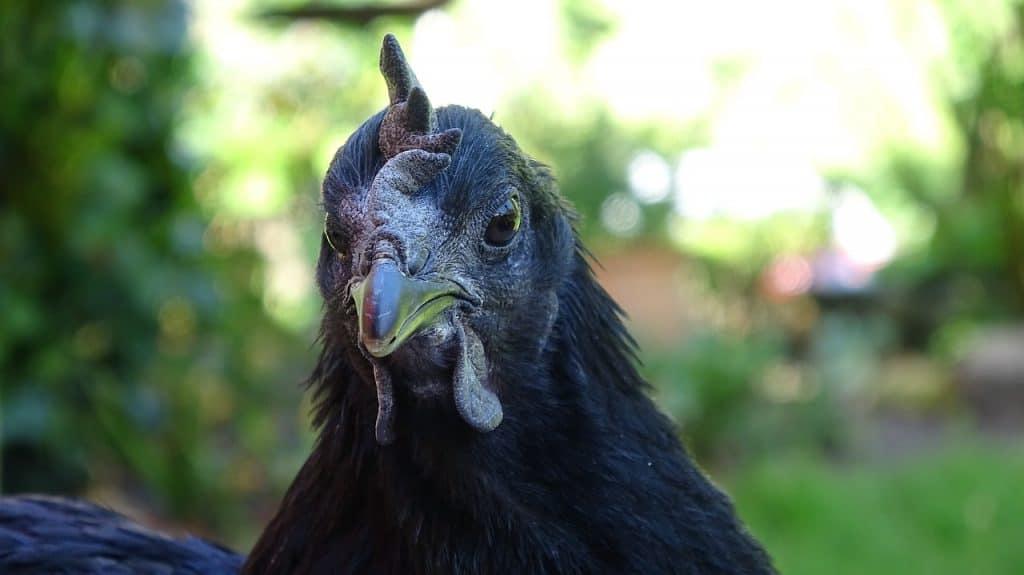 ayam cemani hen